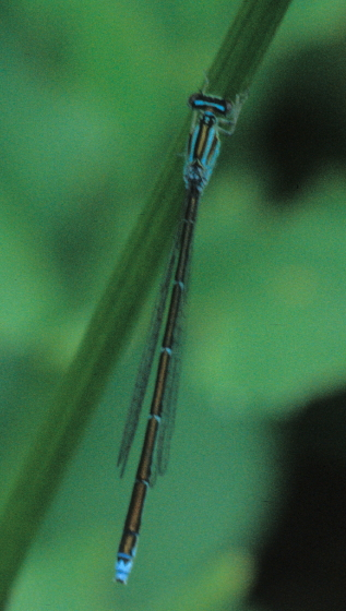 Turquoise Bluet - Enallagma divagans - female