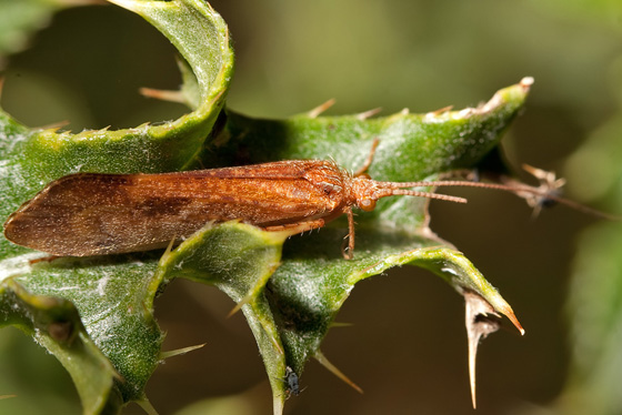 Northern Caddisfly