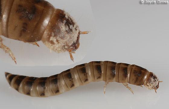 beetle larva - Platydema