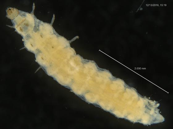Unknown Larva (Coleoptera?) (2-3)