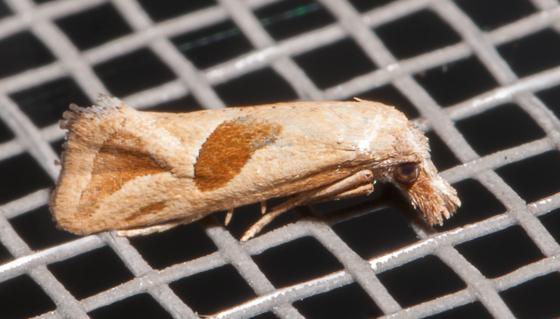 Two-spotted Carolella - Eugnosta bimaculana