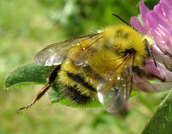Golden Bumble Bee - Bombus flavifrons - male