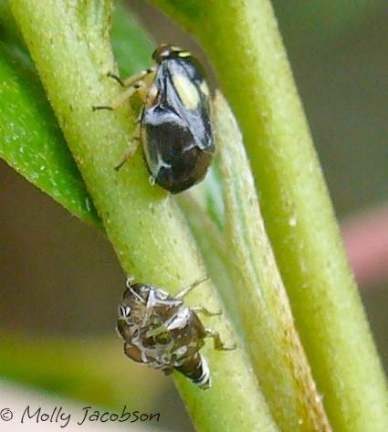 spittlebug - Clastoptera proteus