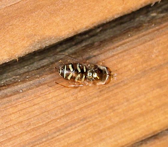 Syrphid Fly - Scaeva pyrastri? - Eupeodes volucris