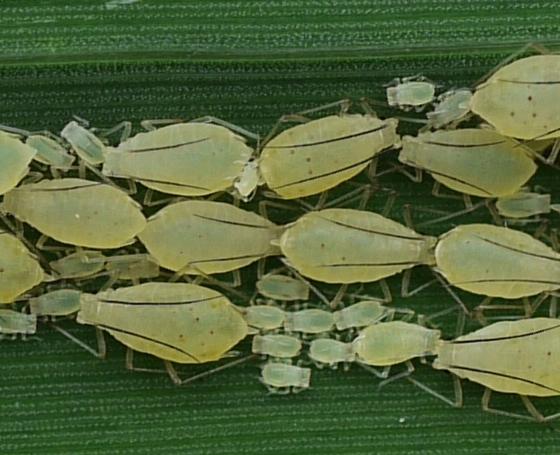aphids - Rhopalomyzus lonicerae