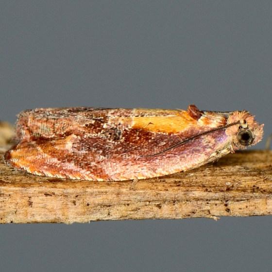 Zomaria rosaochreana  - Zomaria rosaochreana