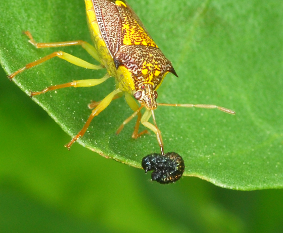 stink bugs - Conquistator mucronatus - male - female