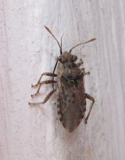 unknown beetle - Arhyssus scutatus