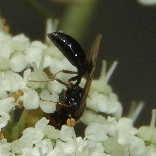 Small hymenopteran - Stigmus