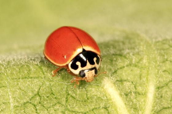 Lady Beetle - Cycloneda munda