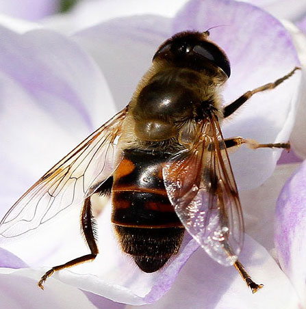 Not sure which syrphid.. - Eristalis tenax