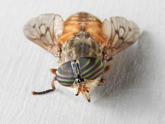 Pennsylvania Diptera for ID - Hybomitra lasiophthalma
