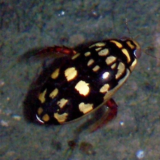 Sunburst diving beetle - Thermonectus marmoratus