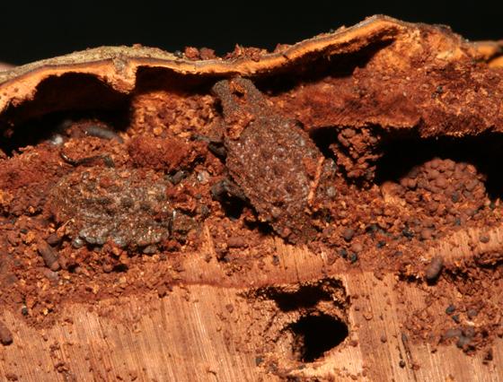 Tenebrionidae, in situ  - Bolitotherus cornutus