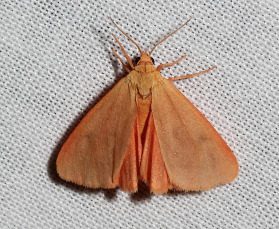 Arctiinae - Virbia immaculata