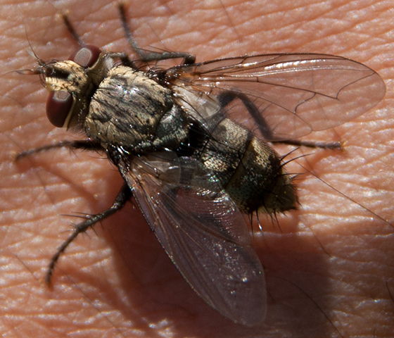 Tachinid fly?