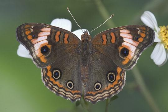 Caribbean Buckeye - Junonia evarete - male