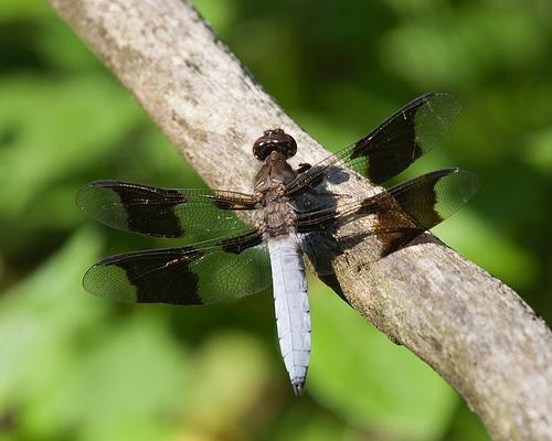 Common Whitetail - Plathemis lydia - male