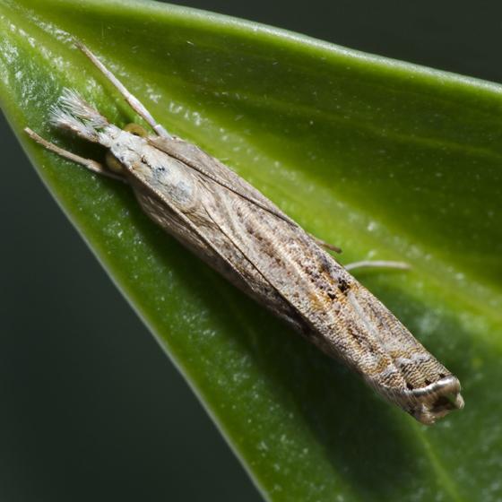 Twig moth - Parapediasia teterrellus
