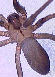 Brown recluse, female - Loxosceles reclusa - female