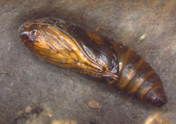 Olethreutinae, pupa - Grapholita tristrigana