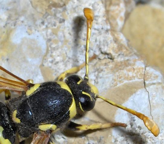 Orange clubbed antennae - Pseudomasaris vespoides - male