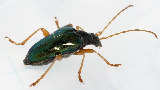 beetle - Gaurotes cyanipennis