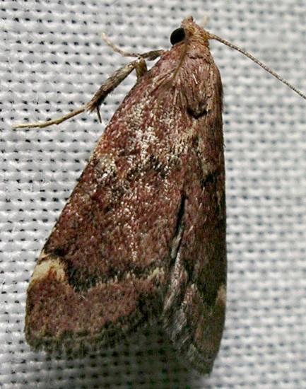 pyralid - Hypsopygia intermedialis
