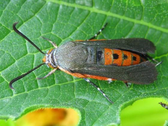 SVB - Melittia cucurbitae - female