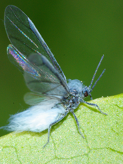 Copyright   169  2008 Kevin HallWooly Aphid