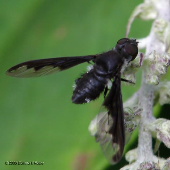 Bee Fly? - Anthrax argyropygus