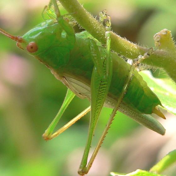 ? Common Meadow Katydid ? - Orchelimum - male