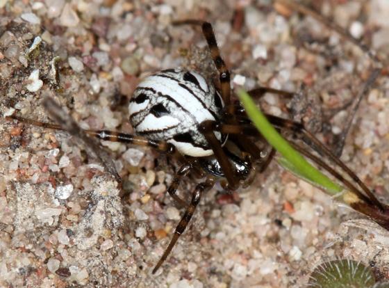Latrodectus hesperus - juvenile Western Black Widow - Latrodectus hesperus