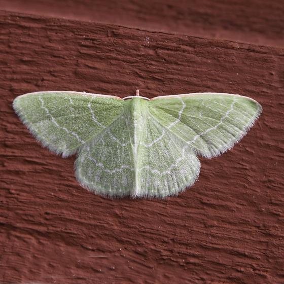 Wavy-lined Emerald - Synchlora aerata