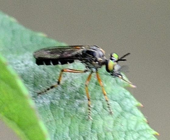 Taracticus octopunctatus