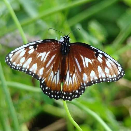 Queen aberrant butterfly - Danaus gilippus - female