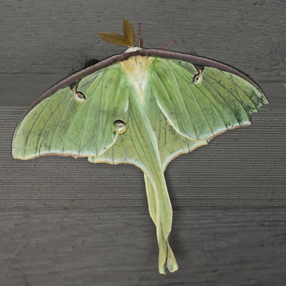 Luna Moth - Hodges #7758 - Actias luna - male