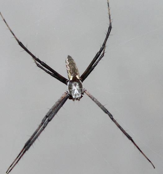 Male black and yellow garden spider garden ftempo for Yellow garden spider poisonous