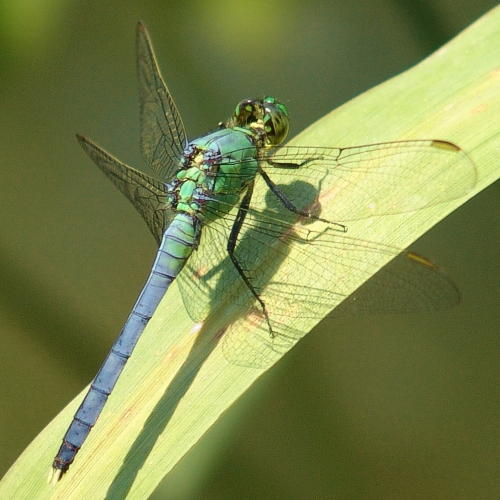 Dragonfly in Ohio - Erythemis simplicicollis - male