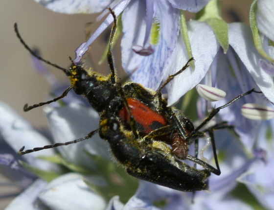 Dimorphic Flower Longhorn Beetles - Anastrangalia laetifica - male - female