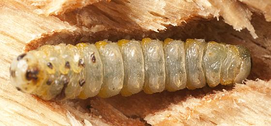 Sawfly larva?