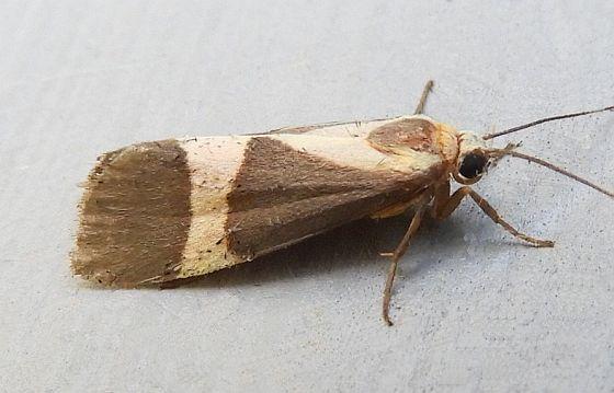 Arizona Moth - Cisthene tenuifascia