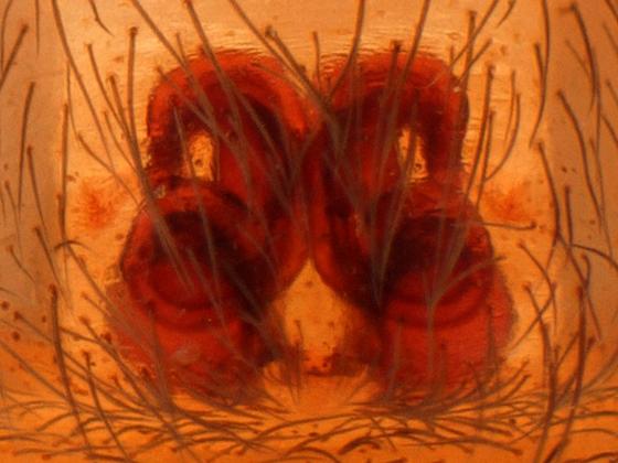 Cicurina - Cicurina simplex - female