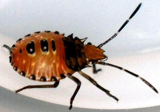 Orange/Black - Leaf-footed Insect?  Assassin Bug? - Arvelius albopunctatus