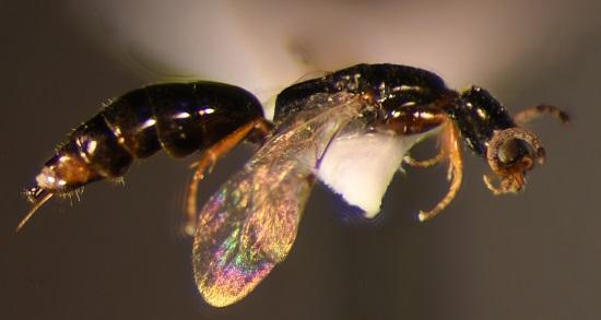 Bethylidae - Epyrinae