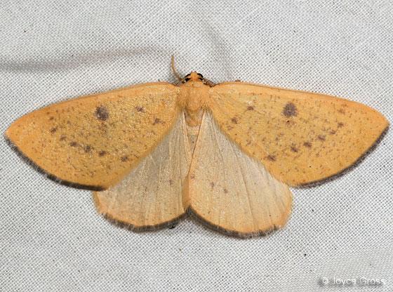 moth - Hesperumia fumosaria