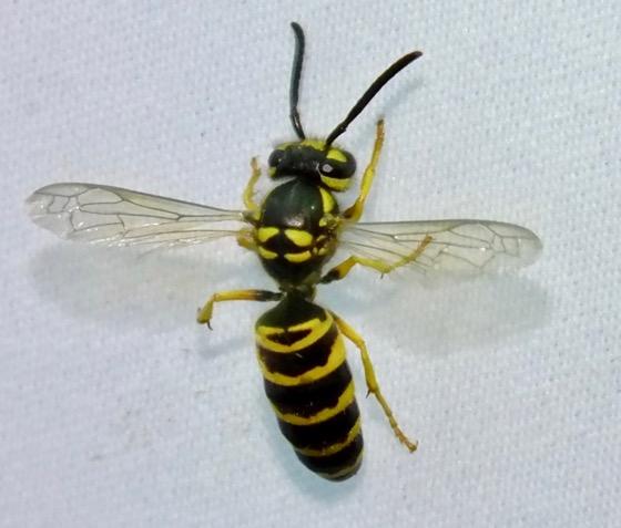 Vespula  - Vespula maculifrons - female
