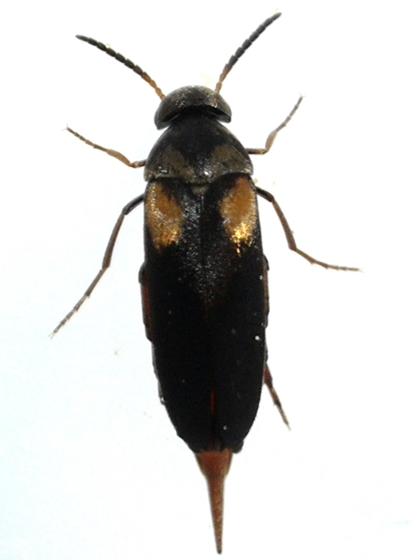 Tumbling Flower Beetle - Mordellochroa scapularis