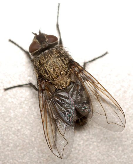 cluster fly - Pollenia labialis - female