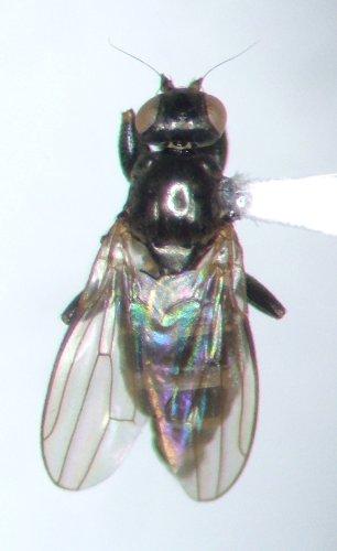 Lotophila atra - male